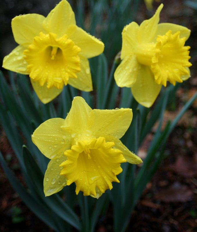 Nothing says Spring like daffodils and raindrops...