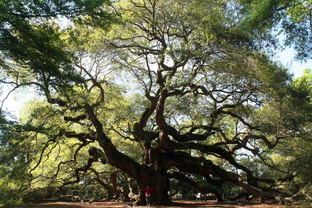 The Angel Oak, Johns's Island SC - estimated to be over 1500 years old.
