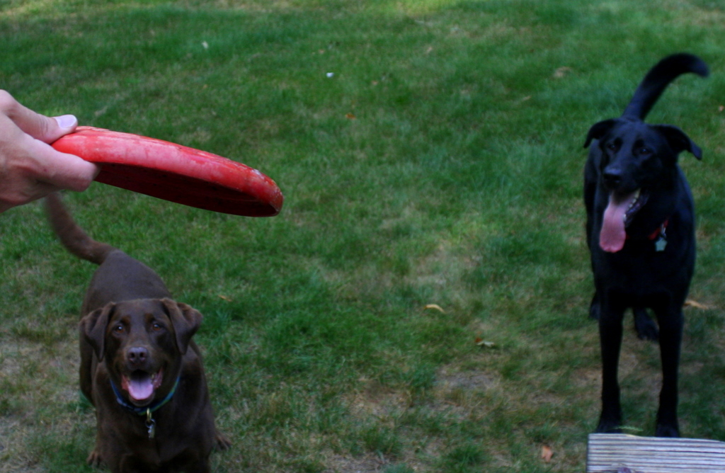 Sophie and Sherman anxiously awaiting the frisbee throw...
