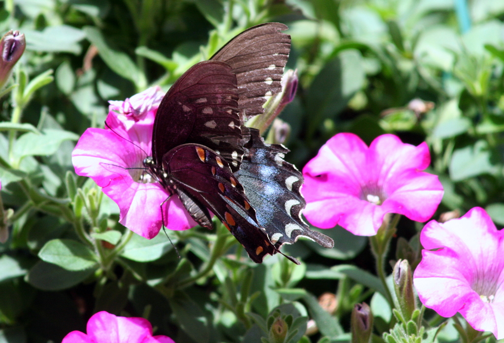 Butterfly action in the petunias...