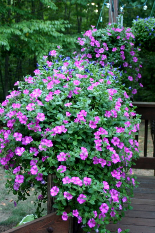Can't say the same for my lawn, but at least my petunias are happy this summer...
