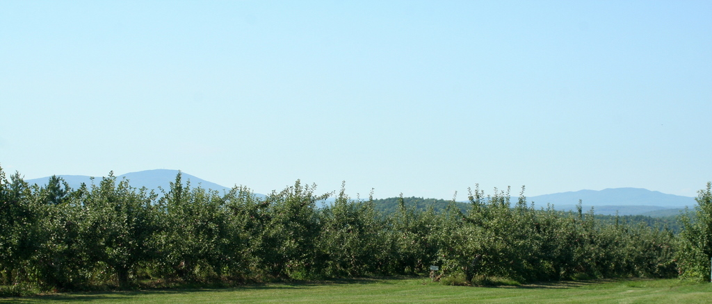 Apple trees at Carter Hill