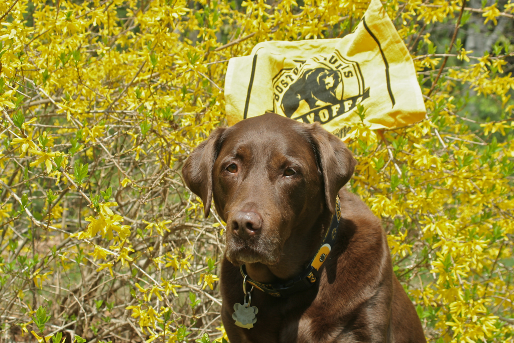 Soph's been sporting her Bruins collar throughout the playoffs - let's hope it keeps working!