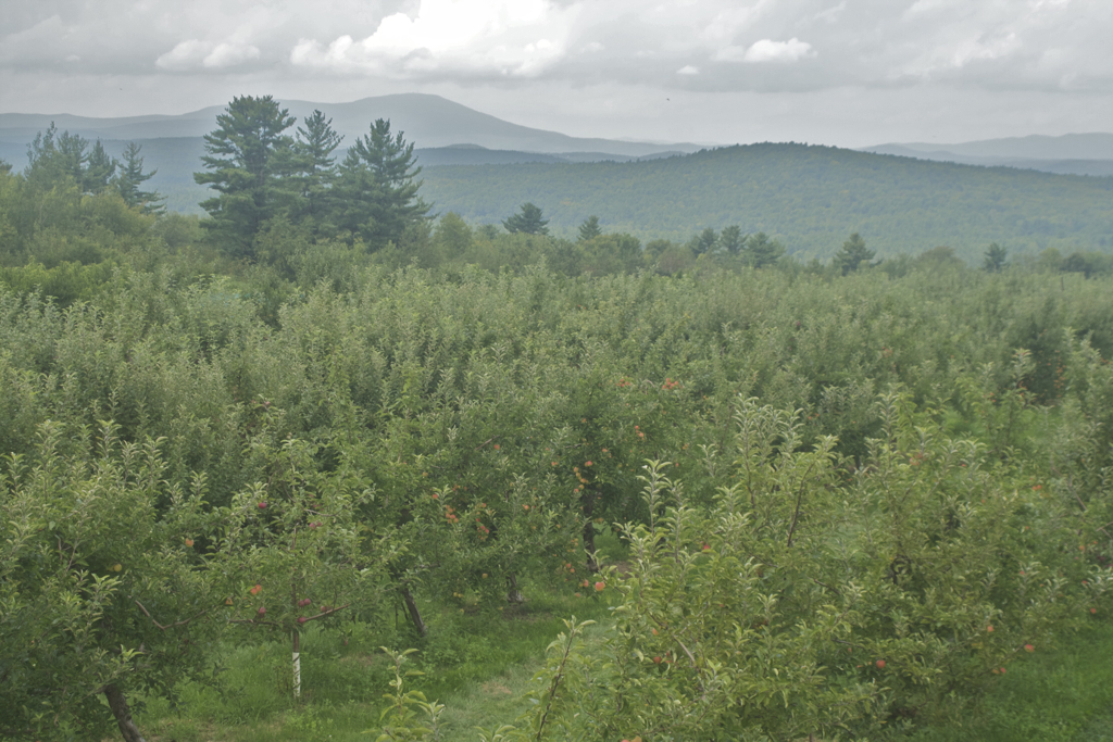 The calm before the storm... peach picking at Carter Hill.. apples soon!