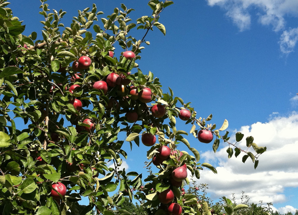 Picture perfect day for picking apples
