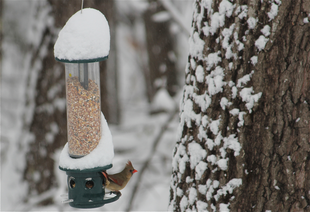 Very happy to see Lady Cardinal back at the feeder - it's been a while!