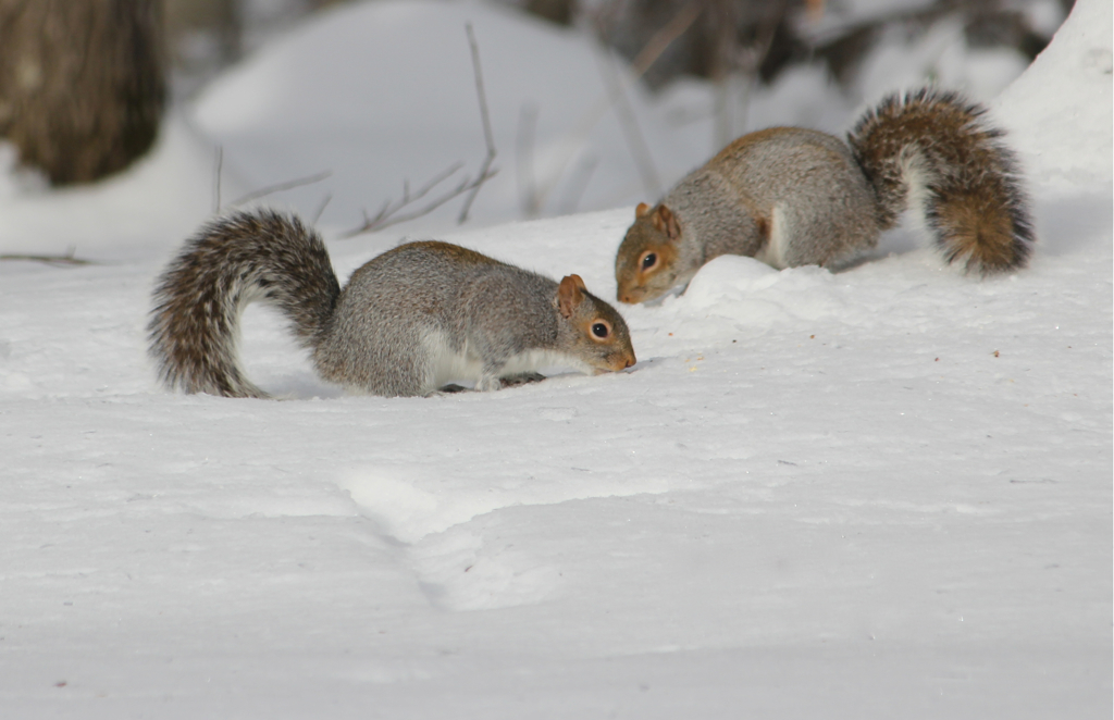 2 buddies hunting for food in the snow