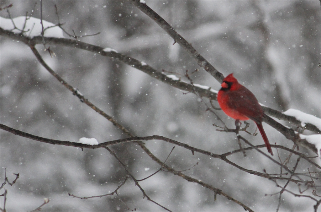 Mr Cardinal weathering the snow...