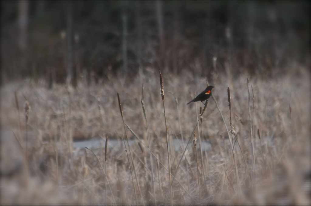 The red winged blackbirds are making their appearance