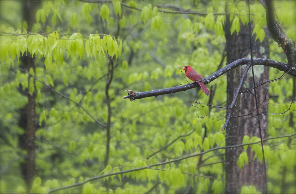 Mr. Cardinal hanging out in the rain...