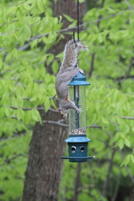 And the 2nd act of the circus in the backyard... acrobatic squirrel