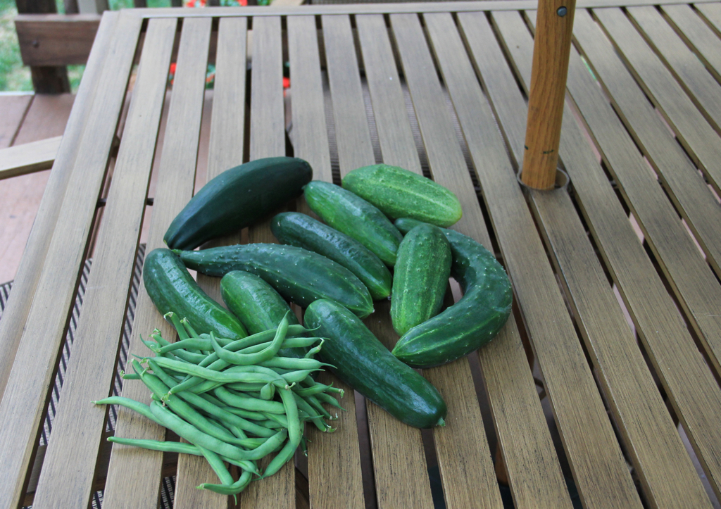 Tonight's harvest - the garden is cranking :)
