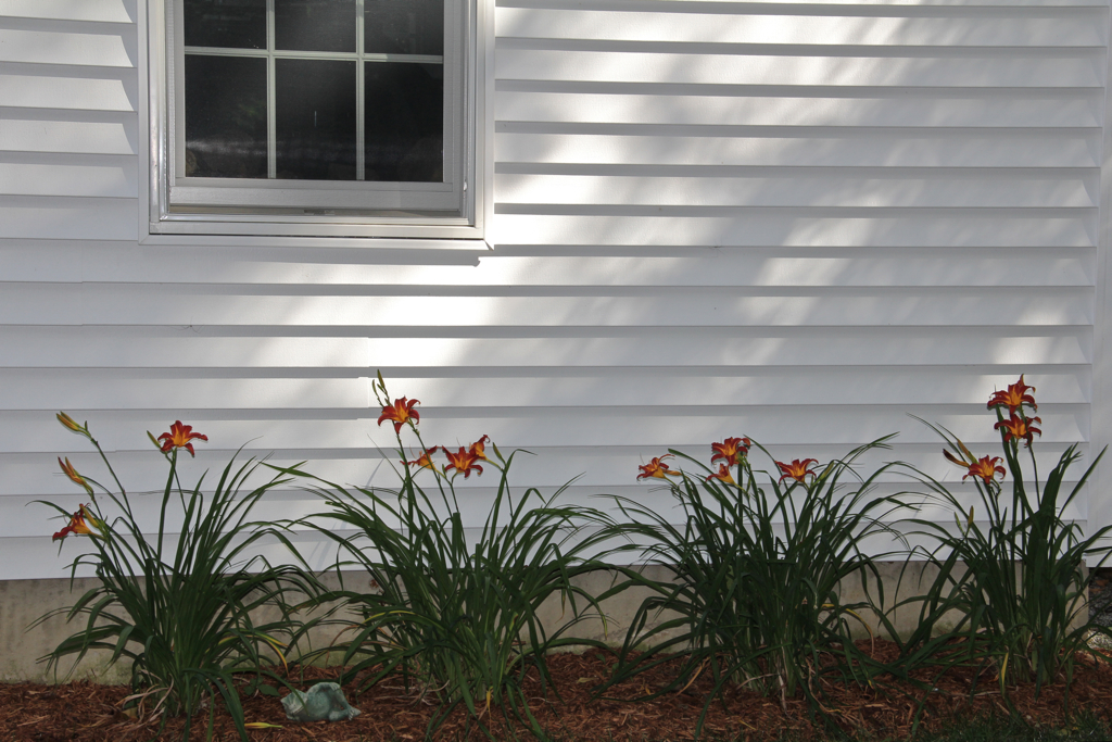 Surprised at how well these transplanted this spring lilies are doing in their new spot behind the garage