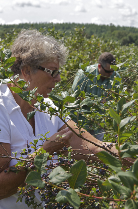 Mom and Steve intently picking blueberries in the last half hour of the last day of picking at Berry Good Farm