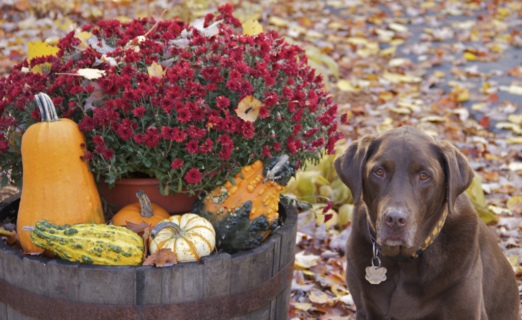 The whiskey barrel decorated for fall and Sophie Brown