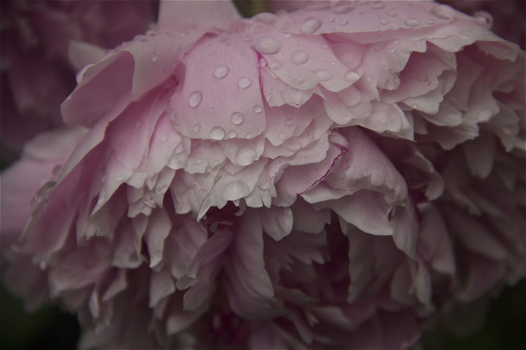 The drops of rain make the peony seem even more delicate