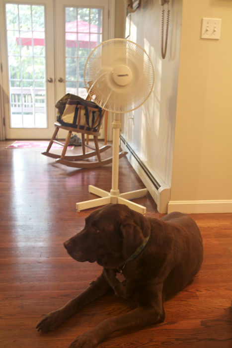 The brown dog has been spending a lot of time in front of the fan lately...