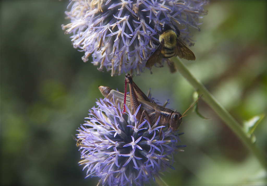 I knew the bees liked my blue globe thistle... didn't realize grasshoppers do too :)