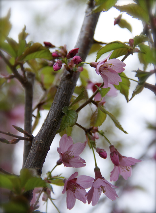 Excited to see the blossoms on the cherry tree we bought last fall; should be in full bloom in a few days :)