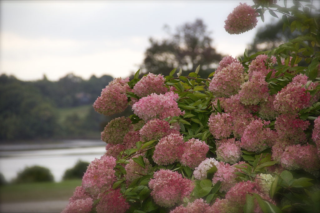 Fall hydrangeas - love the shade of pink...