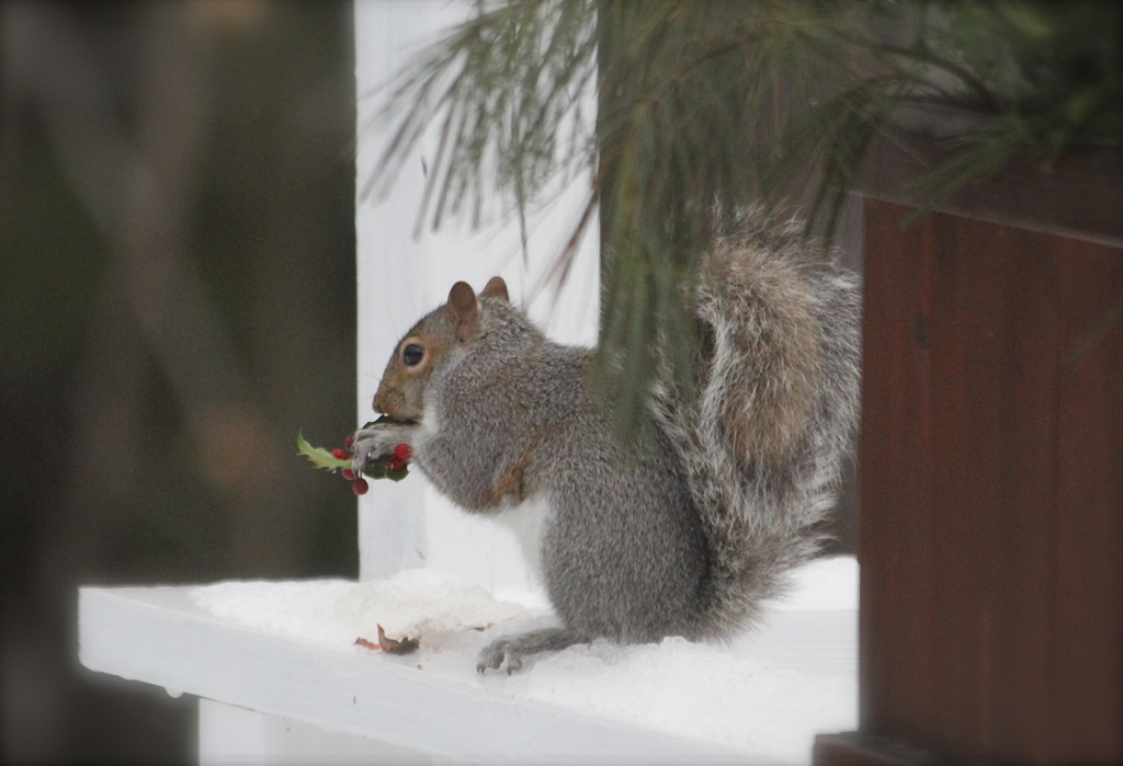 This cute little thief is snacking on my winter arrangement...