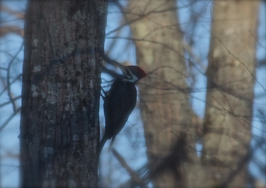 The pileated woodpecker is back...  viewed here through a window screen