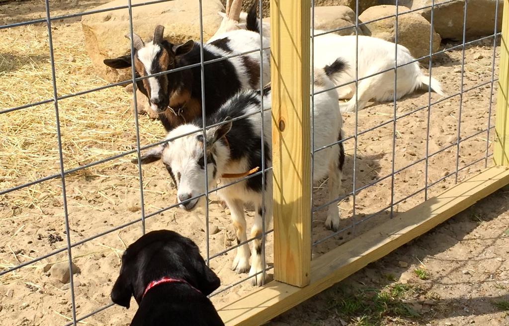 Dog meets goats...