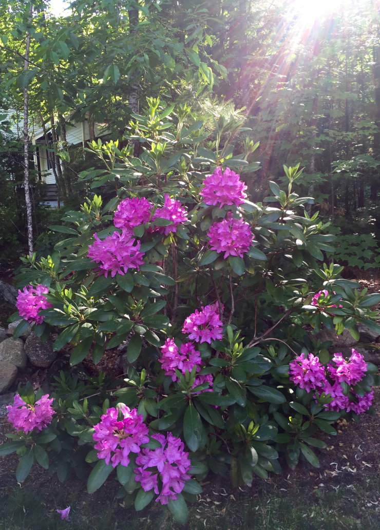 Sunshine on this year's rhodie blooms...