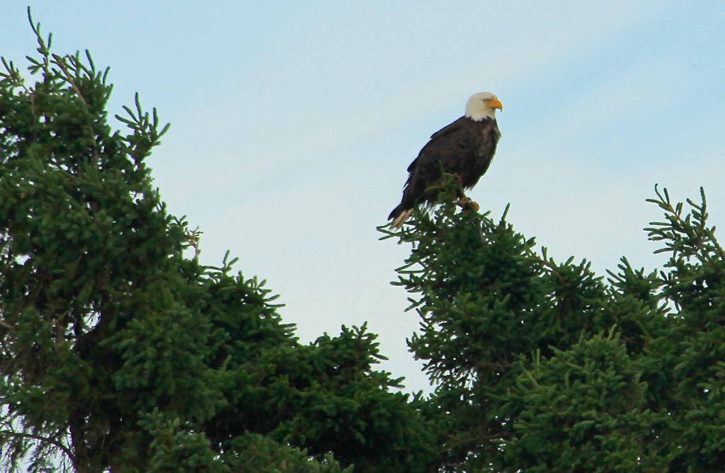 Fun to see bald eagles in our
