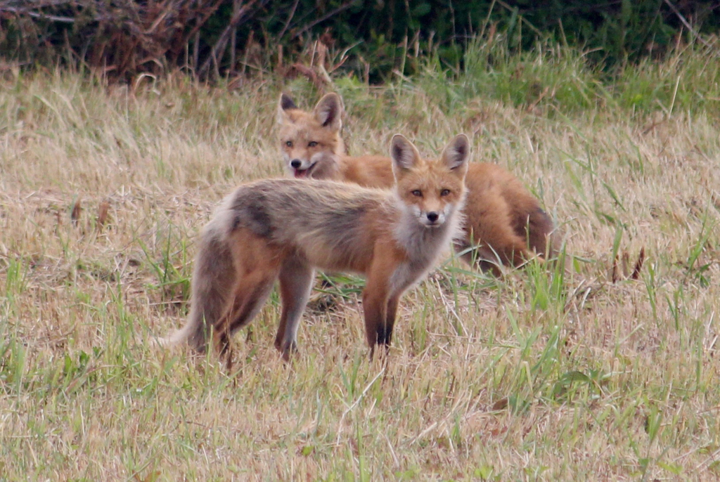 Foxes everywhere on PEI too... these 2 were right outside our cottage