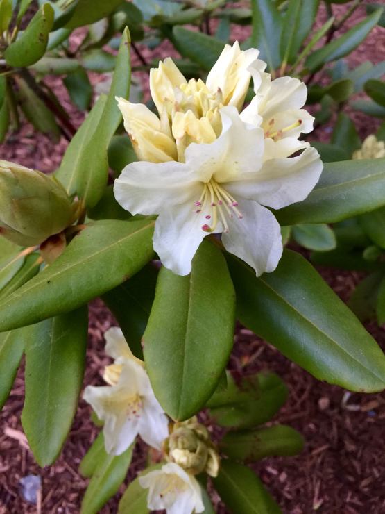 The yellow rhodie is starting to bloom :)